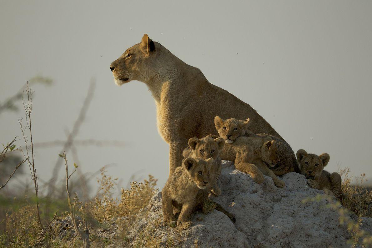 Cachorros y leona