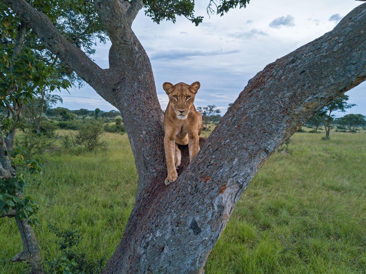 Una leona descansa en un árbol