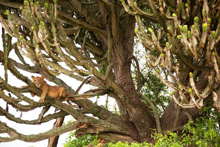 Un cachorro de león en un árbol