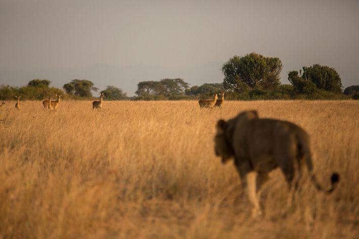 Una leona observa a posibles presas