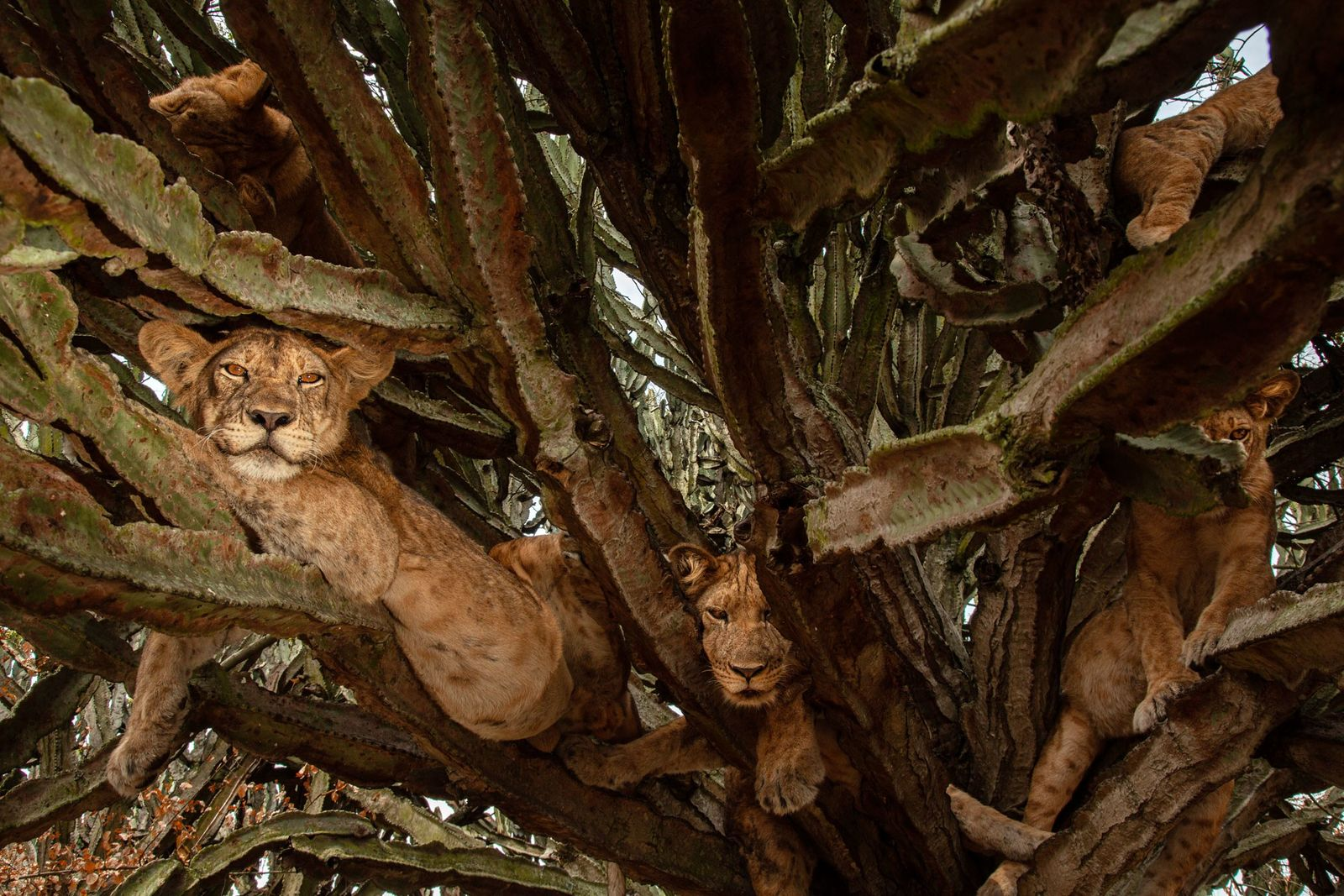 Cachorros de seis meses descansan en un árbol
