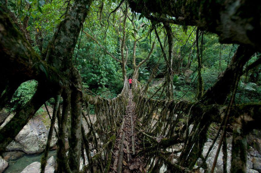 Puente de raíces vivientes