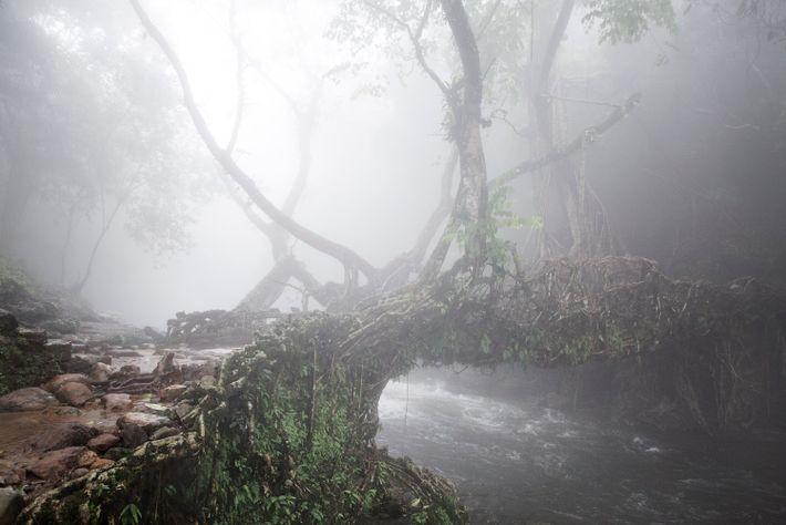 Puente de raíces vivas