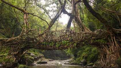 Los puentes de raíces vivas de la India se mantienen firmes durante siglos