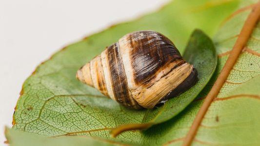 La muerte de George, el caracol más solitario del mundo, supone la extinción de su especie