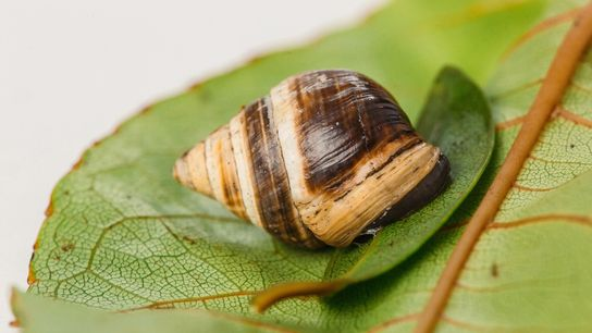Achatinella apexfulva