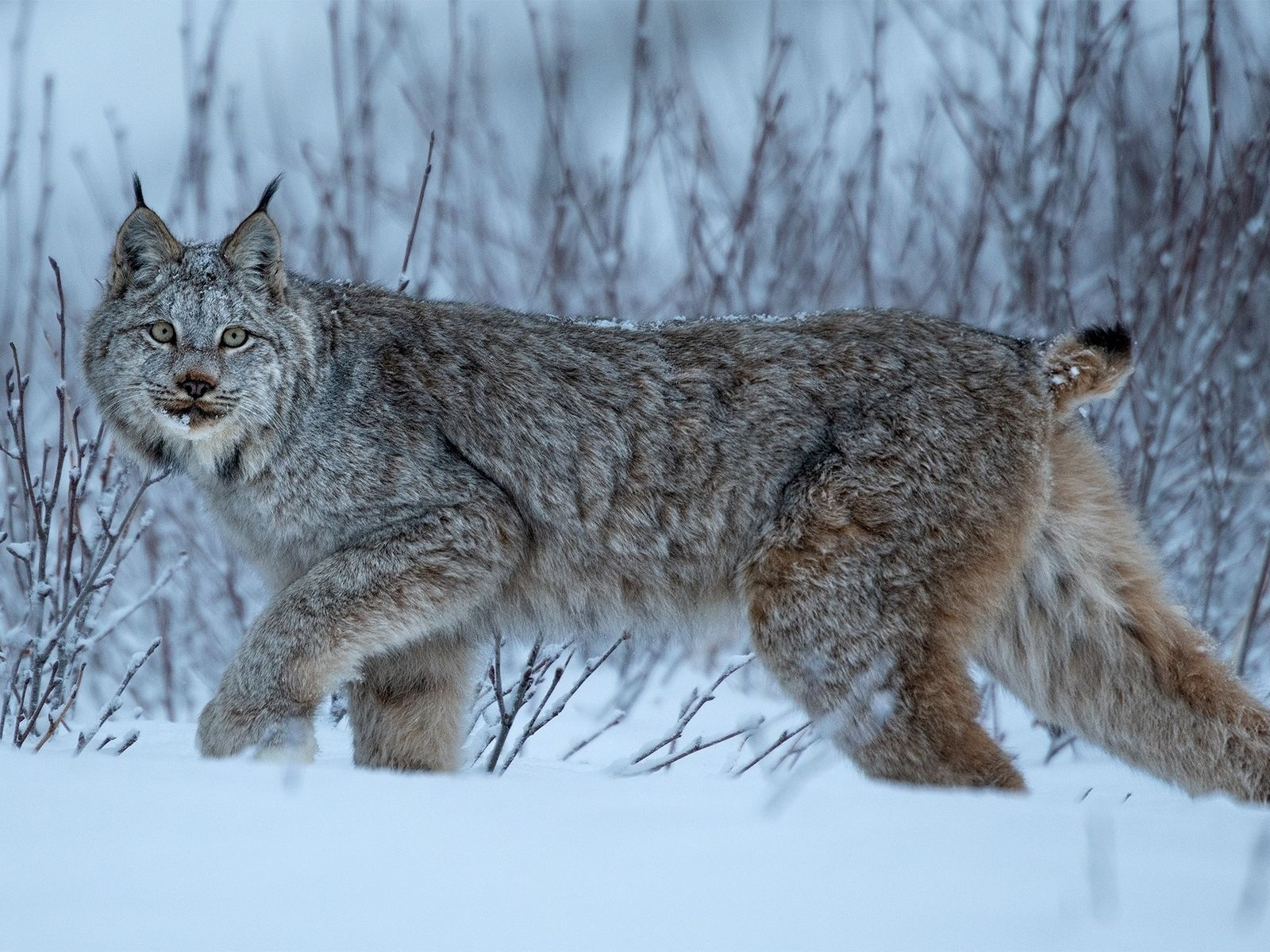 Lince del Canadá