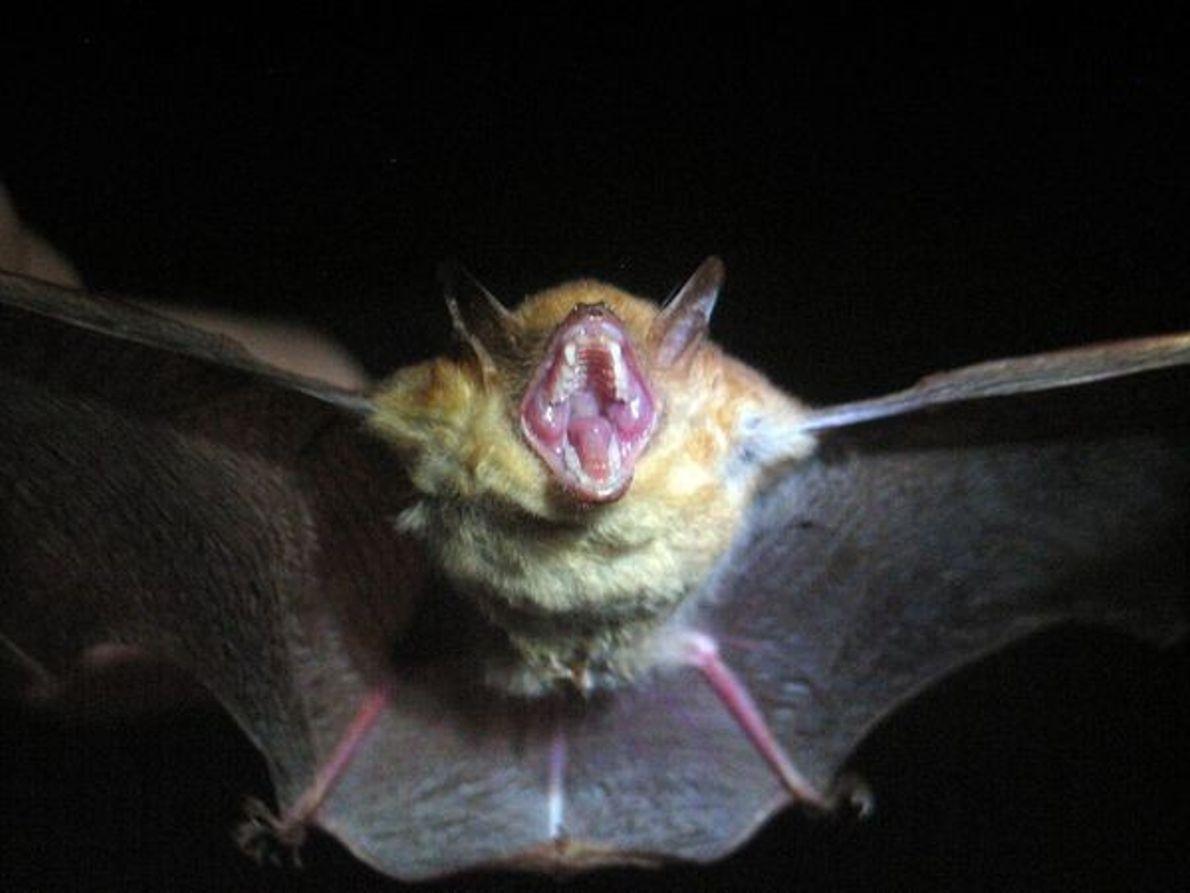 Murciélago tricolor