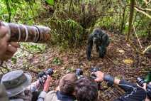 Fotografía de un gorila de montaña en el parque nacional de los Volcanes