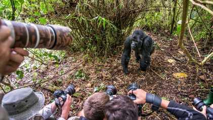 Los turistas podrían transmitir la COVID-19 y otras enfermedades a los gorilas salvajes