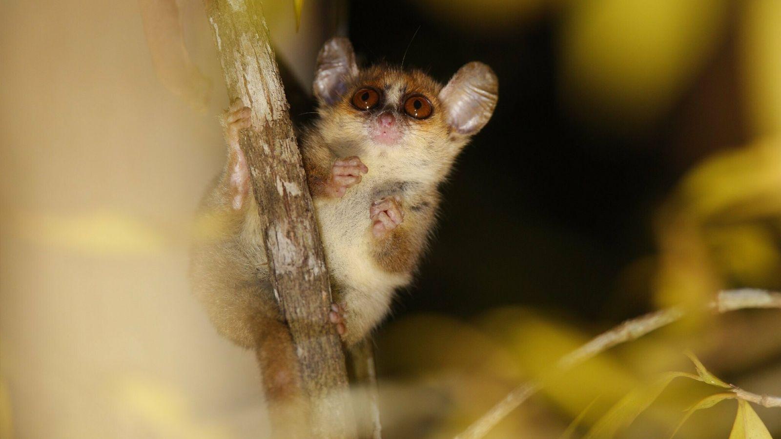 Lémur ratón Microcebus berthae