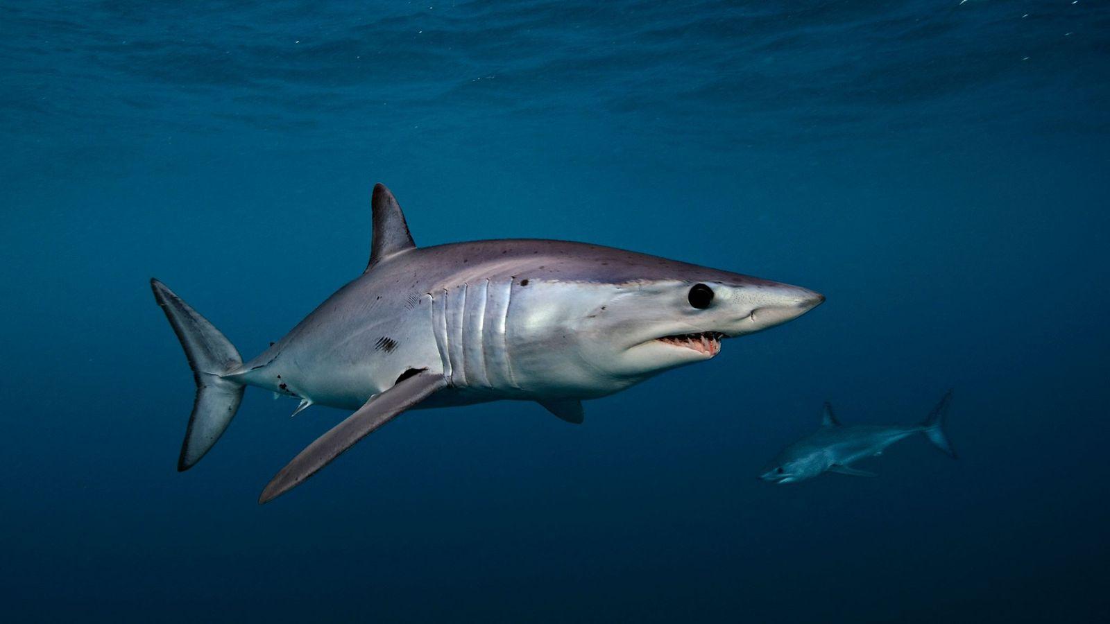 Tiburón marrajo