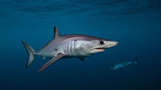 CITES amplía la protección del tiburón marrajo frente a la explotación comercial
