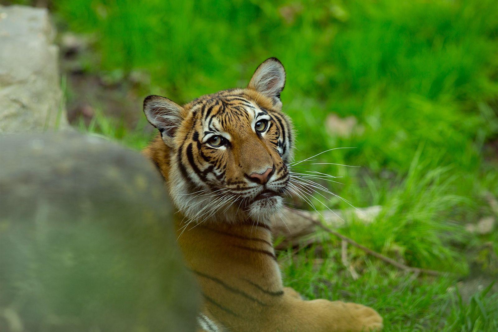 Tigre malayo del zoo del Bronx