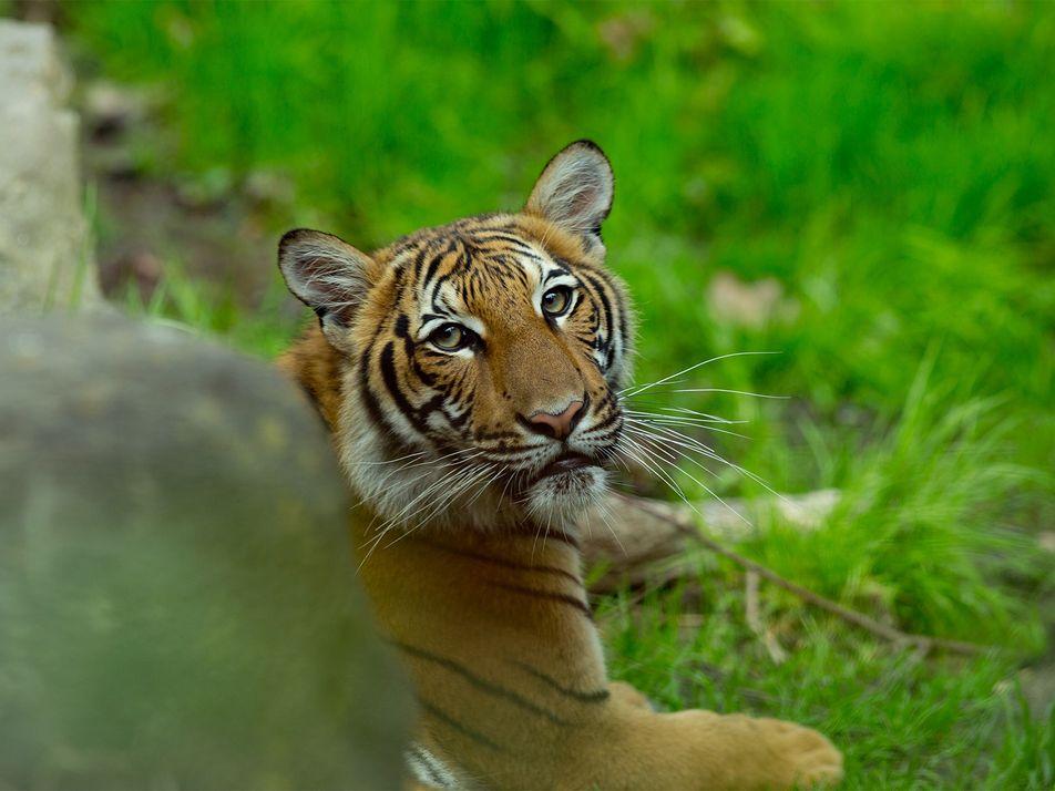 Otros siete grandes felinos del zoológico del Bronx dan positivo por coronavirus