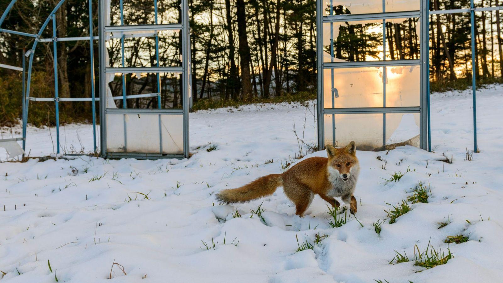 Un zorro en una aldea de Fukushima