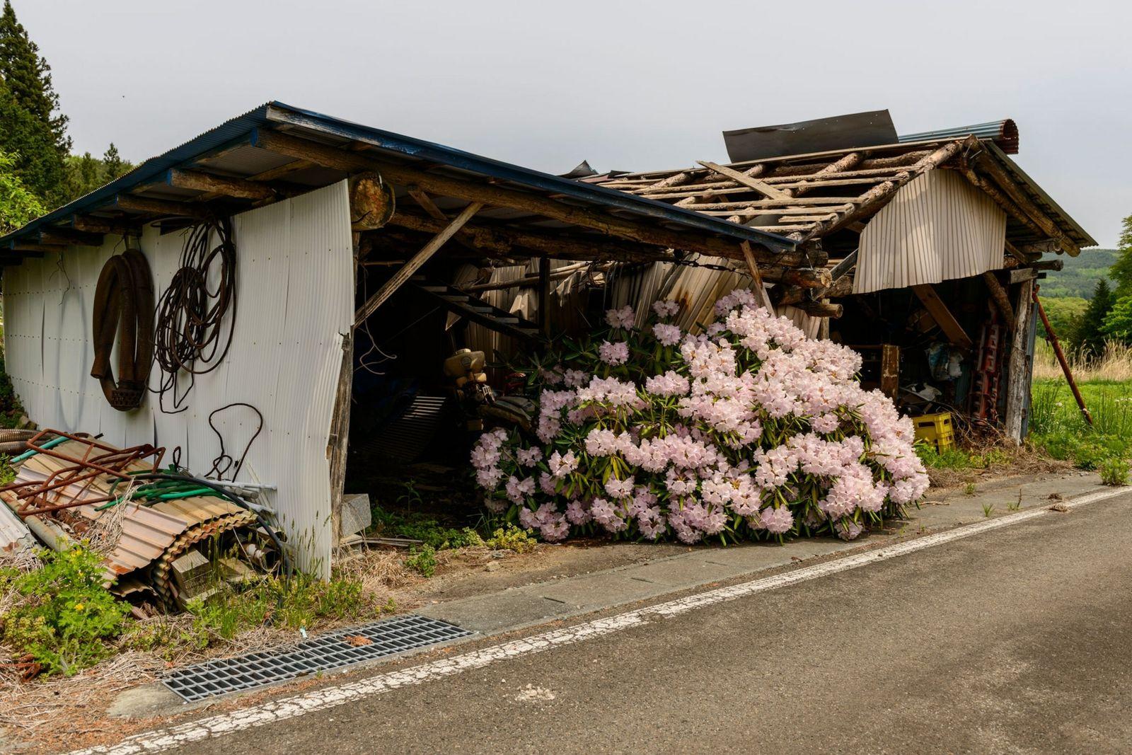 Rododendros en flor en Nagadoro, Fukushima