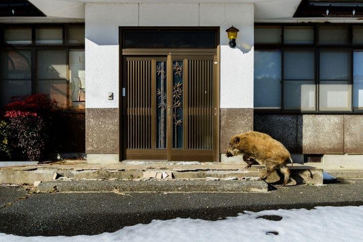 Jabalí en la zona de exclusión de Fukushima