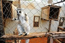 Fotografía de un lémur de cola anillada