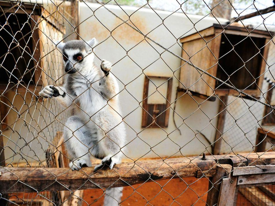 Un lémur que murió de tuberculosis es una víctima probable del comercio ilegal de mascotas