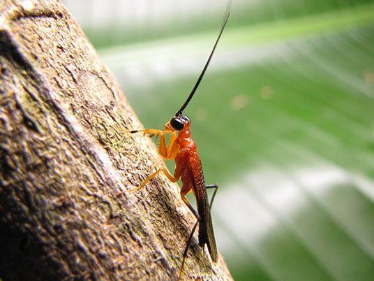 Descubren una extraña especie de mantis religiosa que imita a las avispas