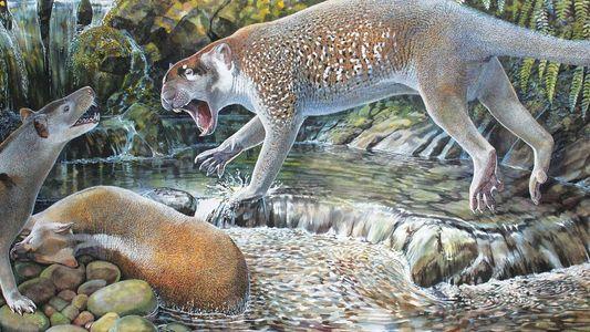 Identificada en Australia una nueva especie de león marsupial