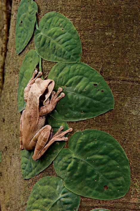 La rana bueyera puede cambiar de color, pasando de marrón a verde conforme el día da ...