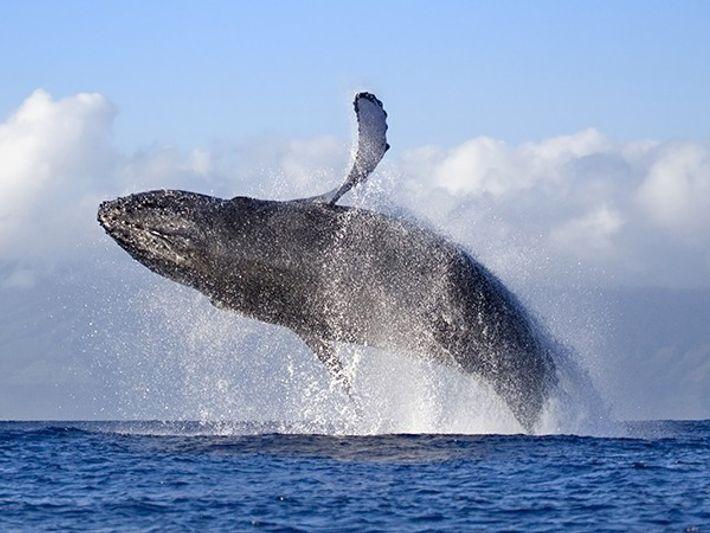 Presenciando ballenas jorobadas en Maui