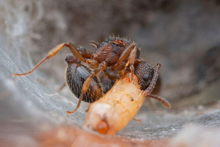 Una hormiga reina de la especie Myrmica punctiventris