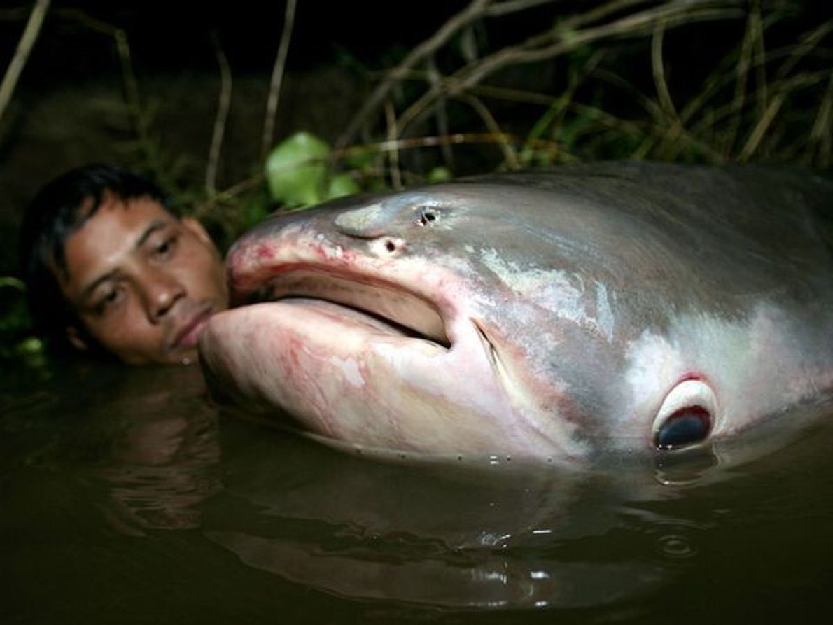 Siluro gigante del Mekong