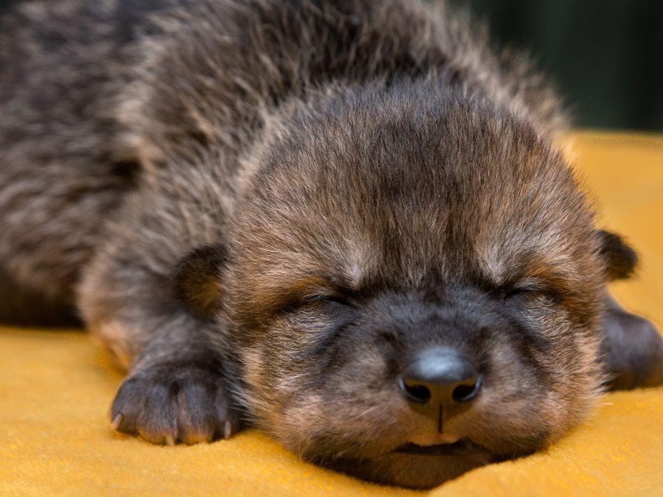 Unas crías de lobo mexicano se introducen en sus nuevas familias de acogida
