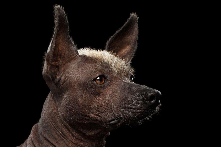 Los hambrientos colonos españoles se alimentaron del xoloitzcuintle y lo pusieron al borde de la extinción.