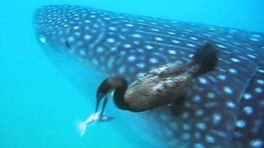 Un cormorán atrapa una rémora adherida a un tiburón ballena