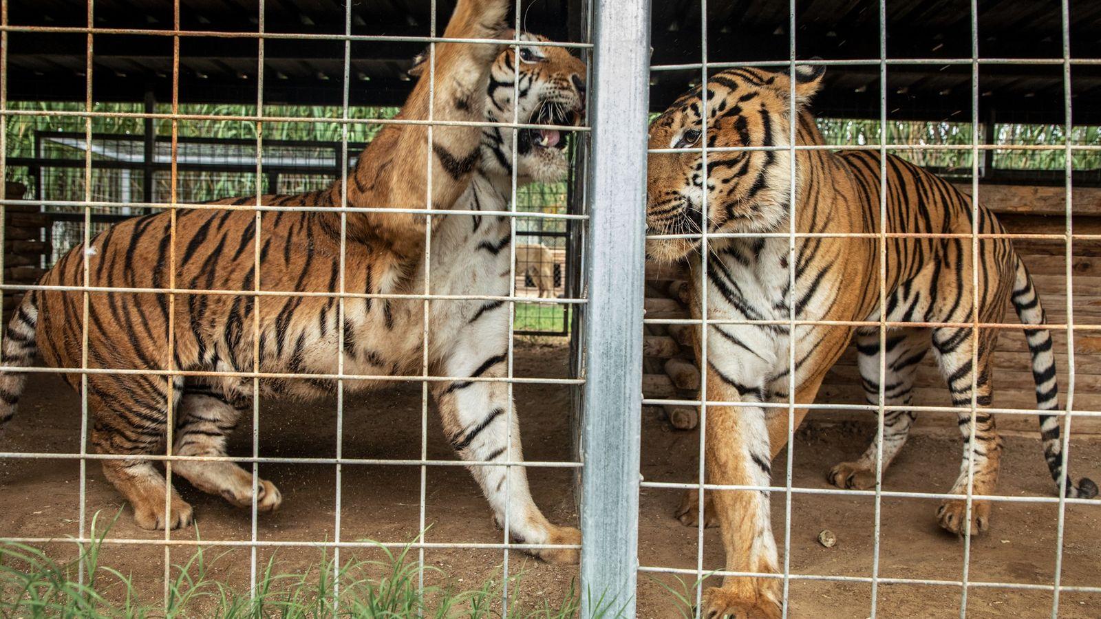Dos tigres en el Parque de Animales Exóticos de Greater Wynnewood