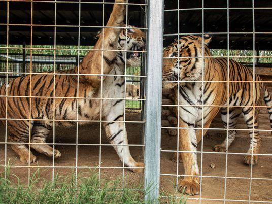El dueño del zoo de «Tiger King» pierde su licencia, pero ya planea un nuevo proyecto ...