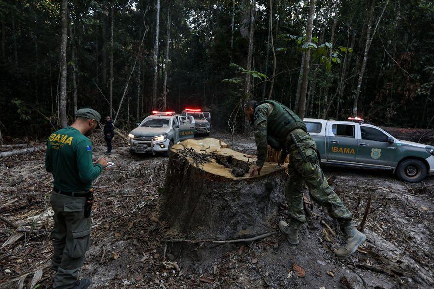 Los agentes del IBAMA inspeccionan un tocón a las afueras del asentamiento fronterizo de Boa Vista ...