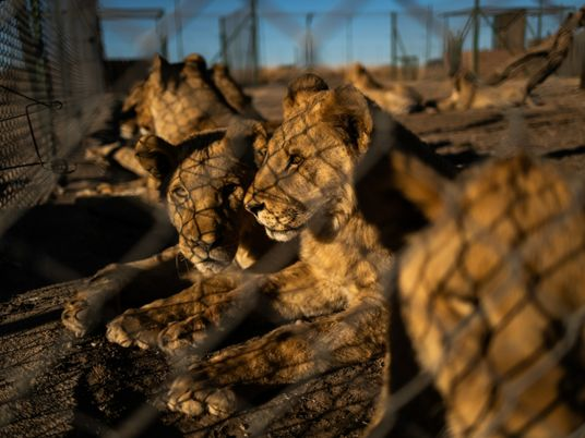 Sudáfrica planea poner fin a la polémica industria de cría de leones en cautividad