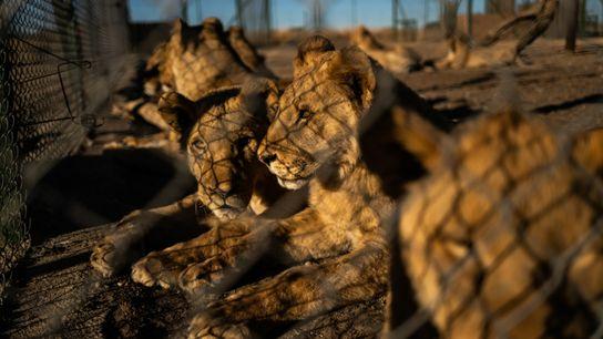 Fotografía de leones de la granja de Pienika