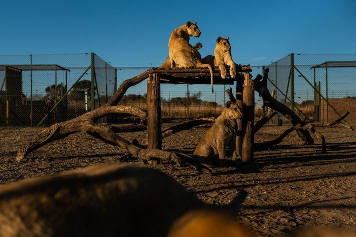 Fotografía de unos leones cautivos