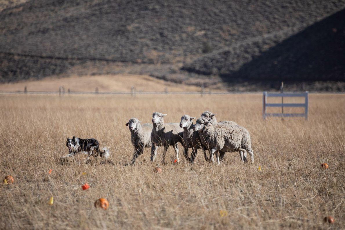 El perro Brad coloca a las ovejas en un círculo y trata de dividirlas en un …