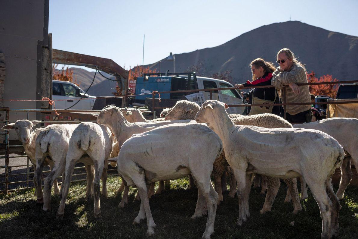 Las ovejas se apiñan una vez esquiladas.