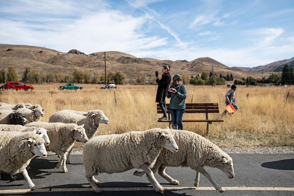 Festival Trailing of the Sheep