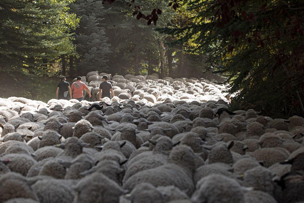 Desfile de ovejas
