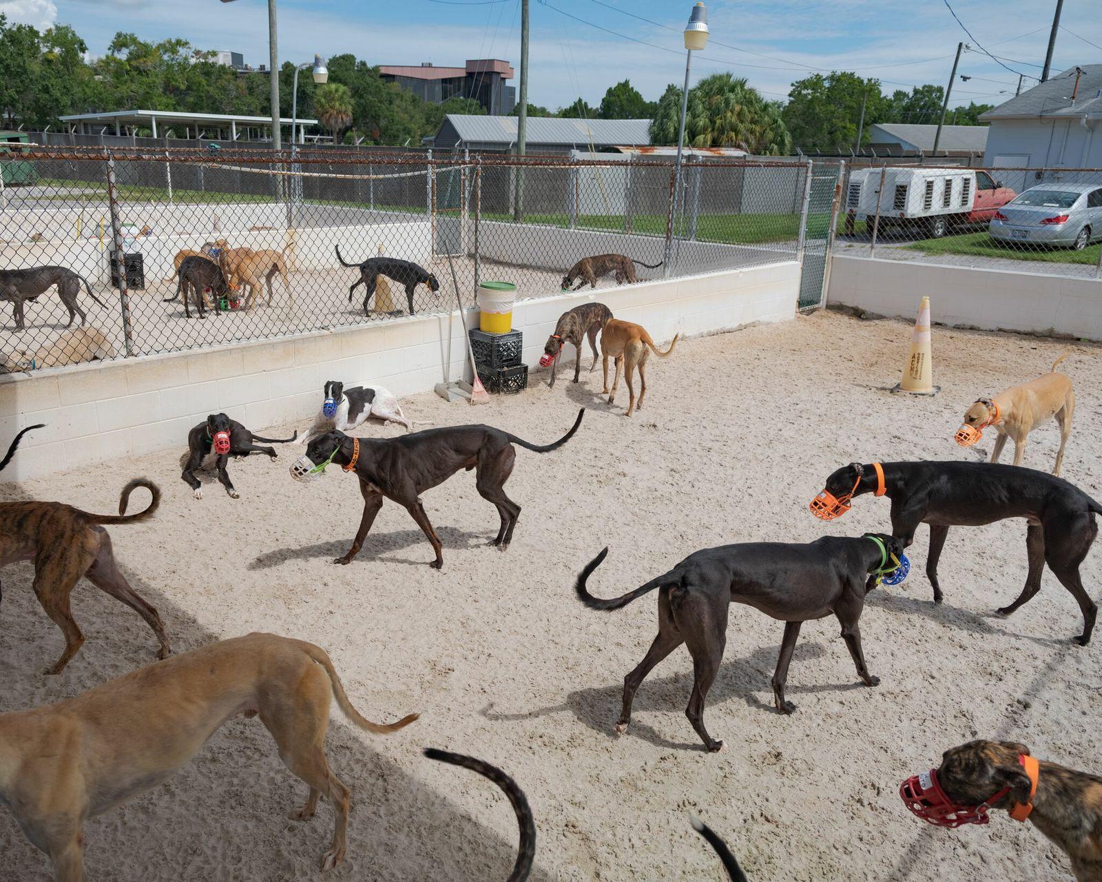 Fotografía de galgos de carreras en una perrera de Florida