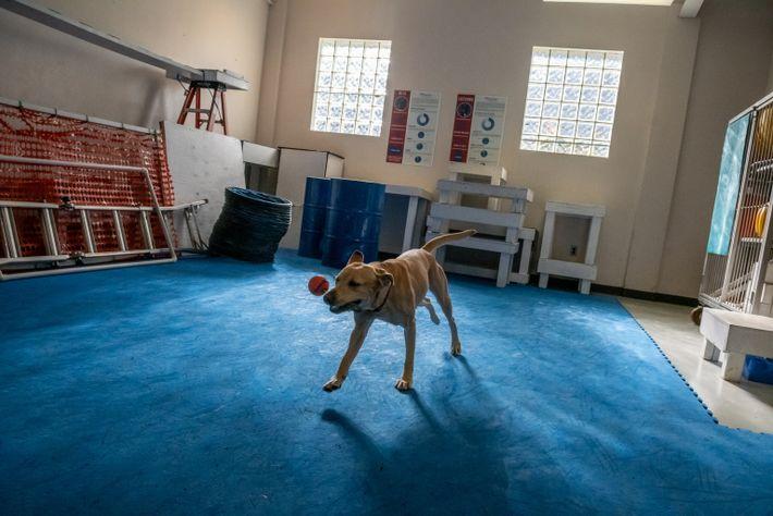 Roxie, un labrador amarillo, juega antes de un experimento