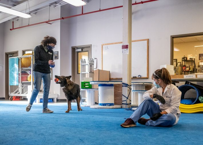 Cynthia Otto, directora del Working Dog Center, trabaja con Rico, un pastor alemán