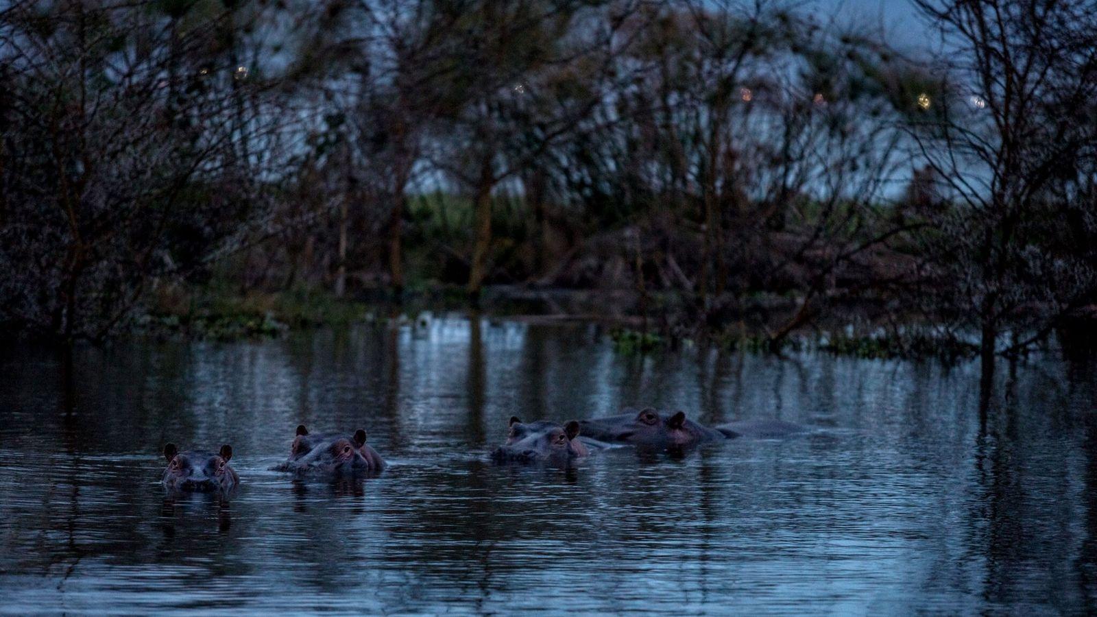 Los hipopótamos se bañan en el lago Naivasha