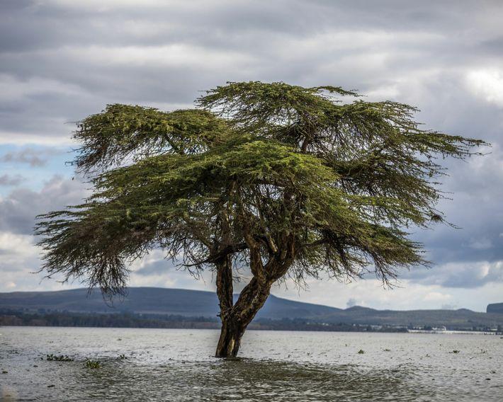 Fotografía de una acacia sumergida en el lago Naivasha