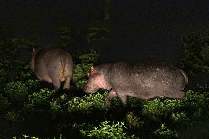 Fotografía de hipopótamos comiendo