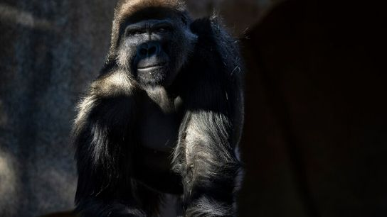 Fotografía del gorila Frank en el zoo de San Diego